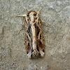 Yellow-Striped Armyworm Moth