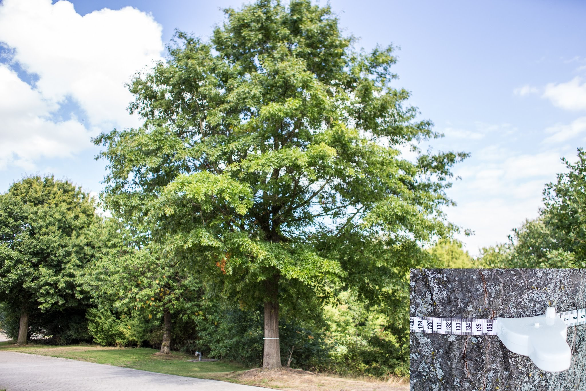 Baumschutzsatzung Eiche