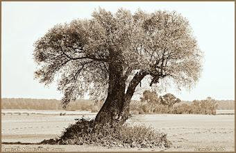 Photo: typisch nordischer Baum auf einer Wiese