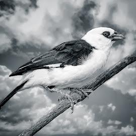 by Judy Rosanno - Black & White Animals (  )