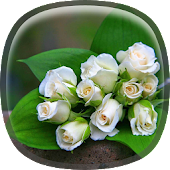 White Rose Live Wallpaper HD