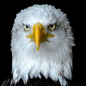 bald eagle by Andy Smith - Animals Birds ( bird of prey, bald eagle, eyes,  )