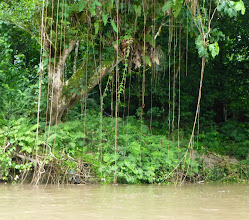 Photo: Vines hanging into the water