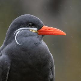 Inca Tern by Barry Smith - Animals Birds ( orange, animals, tern, birds, portrait )