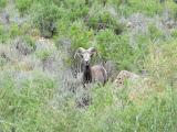 Photo: Bighorn sheep