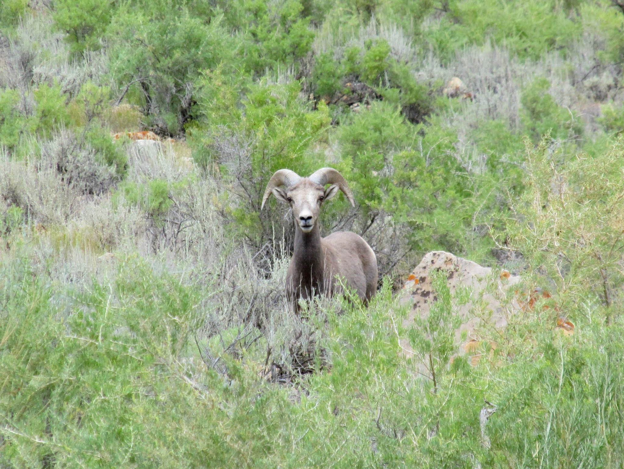 Photo: Bighorn sheep