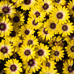 Daisies by Andrew Moore - Flowers Flower Gardens (  )