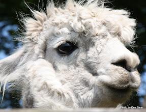 Photo: (Year 2) Day 334 - A Beautiful Alpaca #4