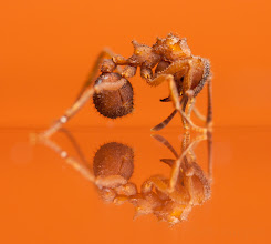 """Photo: Trachymrymex turrifex on Orange  I'm not sure what exactly this ant was doing; she was running around just fine, and then assumed this pose and wouldn't move at all. I'm guessing this is the ant equivalent to """"playing possum"""", hoping that the big ugly photographer wouldn't eat her if she didn't move a muscle. I've seen this species freeze before in response to a threat, but the 'head down' posture is a new one for me.  In any case, it let me line up a nice reflection shot. This is on a pane of glass a a very low angle to avoid the double-reflections. One flash diffused flash on top, another lighting the background.  Hope you enjoy! (please view larger if your device supports it!)"""