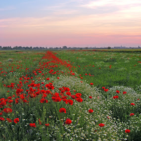 poppies by Victor Pavel - Landscapes Prairies, Meadows & Fields ( ... )