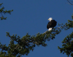 Photo: Adult Bald Eagle; close enough to shoot with my 10x point-and-shoot camera. Bayview-Edison State Park, Skagit County, WA.