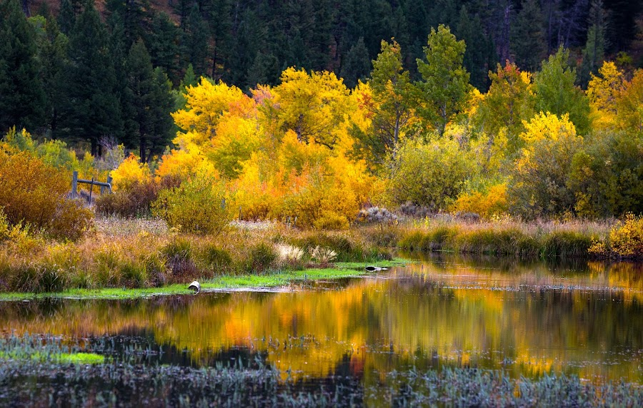 Montana Stream by Richard Duerksen - Nature Up Close Trees & Bushes ( stream, montana, trees, autumn colors, aspens, red rock lakes )