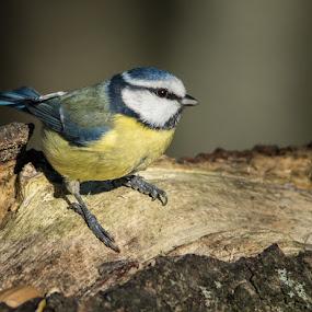 Blue tit by Jim Keating - Animals Birds ( blue, farmland, woodland, yellow, small bird, blue tit,  )