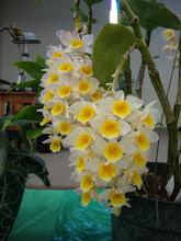 Photo: Dendrobium amabile - Thủy Tiên Hường