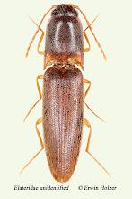 Photo: unidentified (8), 7,8 mm, Costa Rica, Rincon de la Vieja (10°45´/-85°21´), leg. Gernot Kunz
