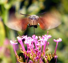 """Photo: Vvvrrr........ Le """"Moro-sphinx"""", papillon """"colibri"""", en vol stationnaire devant une centranthe rouge."""