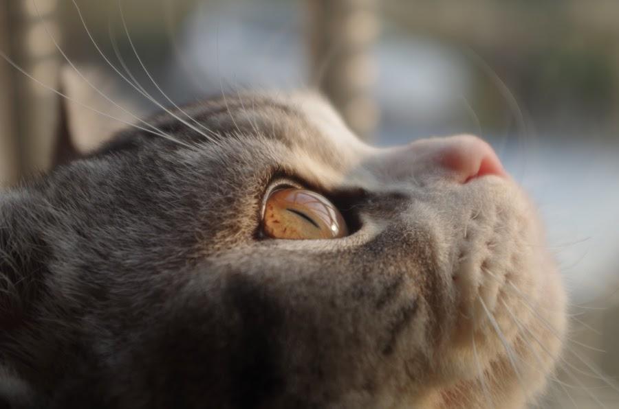 Cat by Akash Mondal - Animals - Cats Portraits (  )
