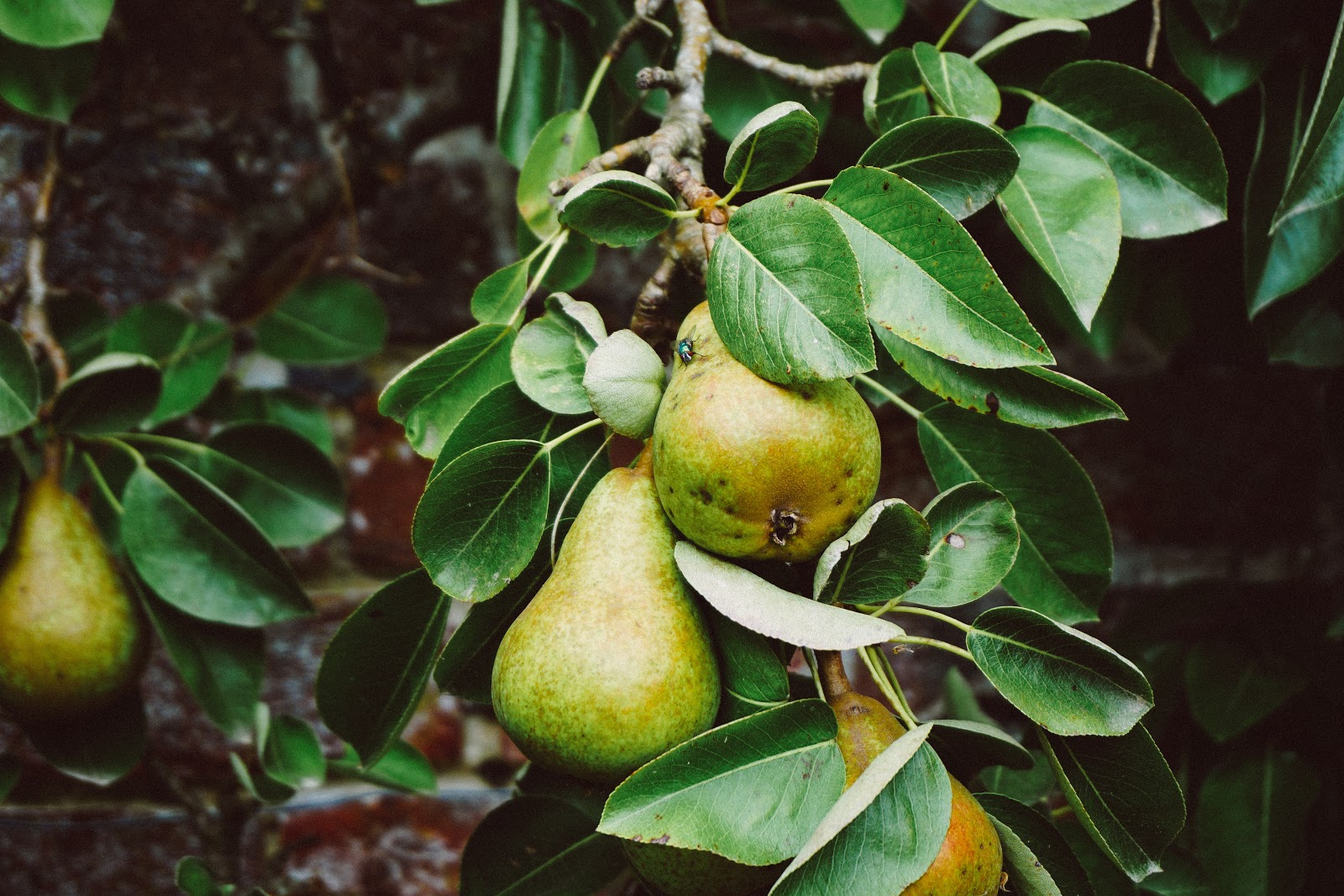 Pear tree fruiting