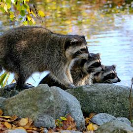 Raccoons by Michael Schwartz - Animals Other Mammals (  )