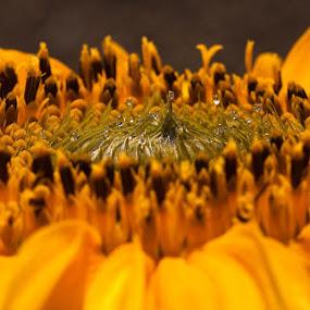 Sunny Flower by Daniela Maskova - Nature Up Close Flowers - 2011-2013 ( macro, sunflower, droplets )