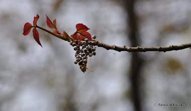 Photo: Poison ivy seed pods and new leaves