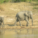 Sri Lankan Elephant with baby(video)