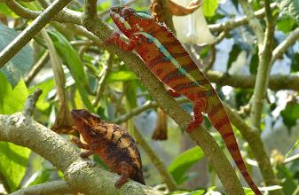 Photo: Chamäleon 12: Panther-Chamäleon: Links unten das erheblich kleinere Weibchen.