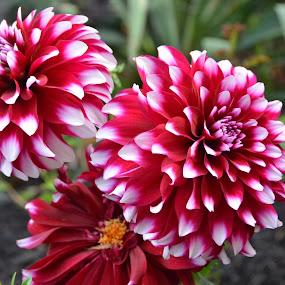 Dahlia by Lorraine D.  Heaney - Flowers Flower Gardens (  )