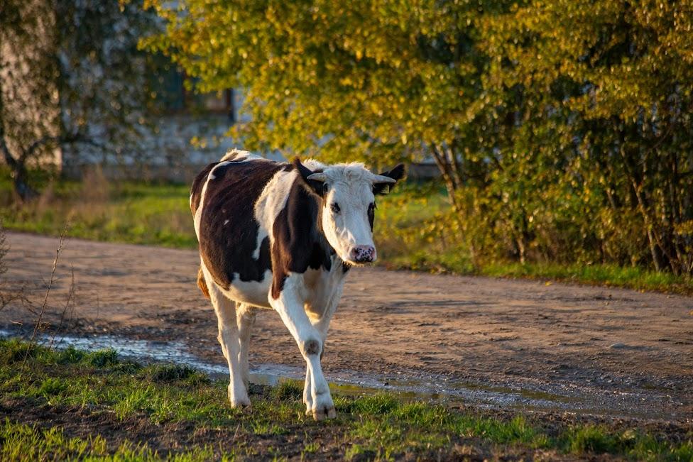 weekend na Mazowszu, krowa