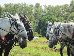 Photo: Mules and grey horses going head to head in the plowing competition at Carriage Hill Metropark in Dayton, Ohio.