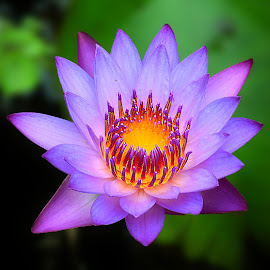 Water lily  by Kamal Mallick - Flowers Single Flower ( flower nature, flower photo, flower closeup, flower, flower photography )