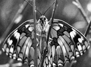 Photo: Fantomas ! Papillon demi-deuil.