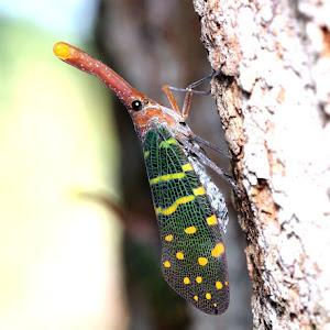 Lantern Bugs 002.jpg