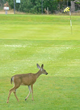 Photo: 52. I saw a group of black-tailed deer roaming a PG golf course, right across the street from the lighthouse. They did not seem to mind the presence of golfers at all. These were the only deer I saw the whole trip, but then again, I stuck mainly to coastal areas.