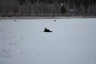 Photo: Remu vaanii, Niila juoksee jo pois.