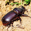 Asiatic/ coconut rhinoceros beetle