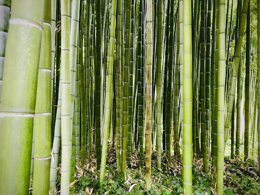 Bamboo  di Tita_86