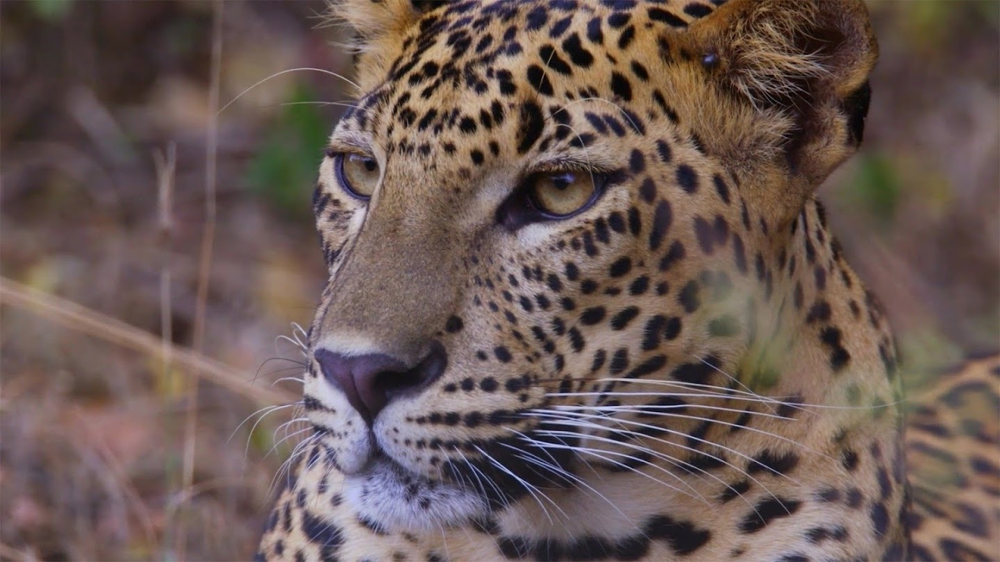 Watch Age of Big Cats live