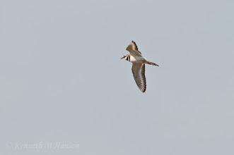 Photo: Flying killdeer