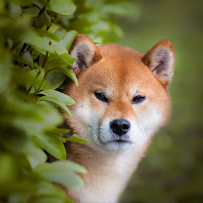 osz by Magdalena Sikora - Animals - Dogs Portraits ( shiba inu, shiba, dog portrait )
