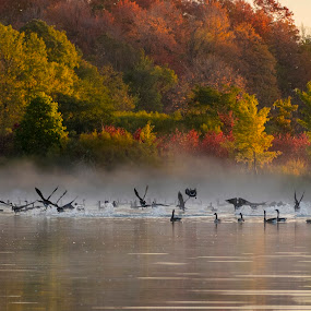 Flying Canada Geese in Fall by Fan Leung - Landscapes Sunsets & Sunrises