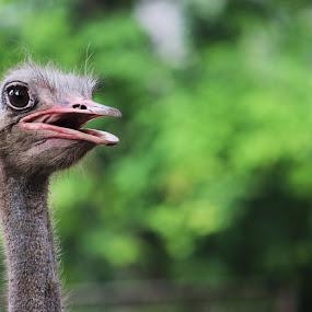 Hello : ) by Abdul Rauf Chaudhry - Animals Birds ( chaudhry ostrich pakistan zoo birds big green beauty )