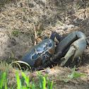 Blue Land Crab
