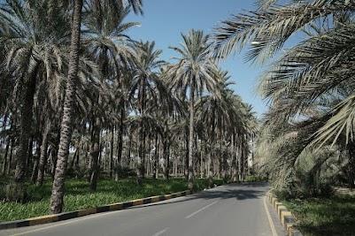 Palmen in Nakhl