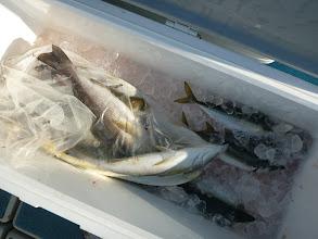 Photo: これも! イサキは好調に釣れてます!