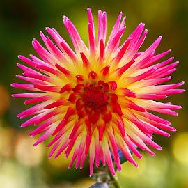 Dalhia n000125 by Gérard CHATENET - Flowers Single Flower