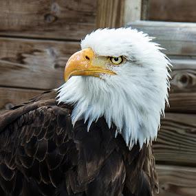 eagel by Franky Vanlerberghe - Animals Birds ( eagel, arend, zeearend,  )