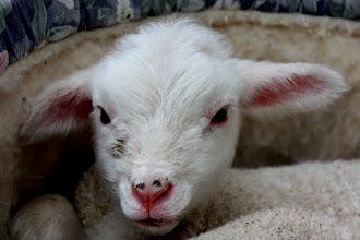 Photo: Year 2 Day 140 - One Day Old Lamb at Yileena
