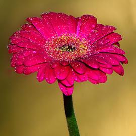 Gerbora n00104 by Gérard CHATENET - Flowers Single Flower