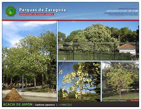 Photo: Acacia de Japón